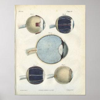 Impresión de la anatomía del ojo humano póster
