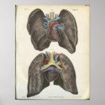 Impresión de la anatomía del pulmón y del corazón poster