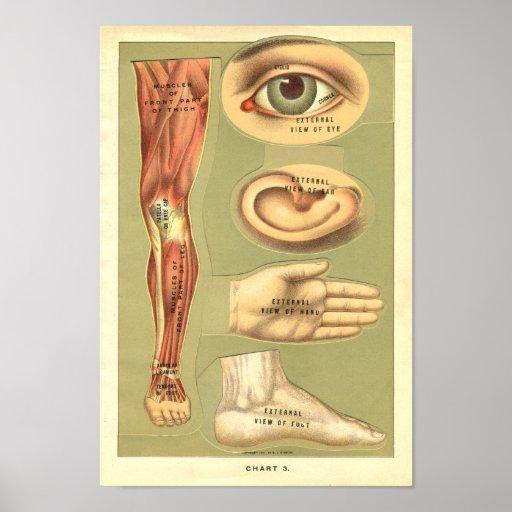 Impresión de la anatomía del ser humano de Vinatge Impresiones