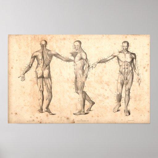 Impresión de la anatomía del vintage de 1833 múscu póster