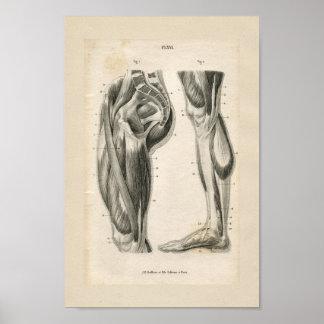 Impresión de la anatomía del vintage de los impresiones