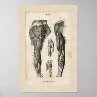 Impresión de la anatomía del vintage de los póster