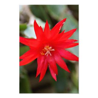 Impresión de la foto - cactus de pascua fotografías