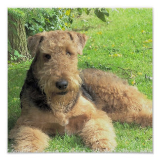 Impresión de la foto de Airedale Terrier Póster