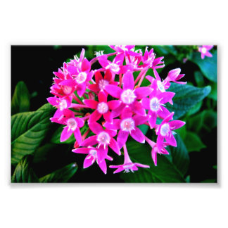 Impresión de la foto de flores rosadas hermosas