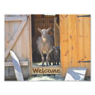Impresión de la foto de la cabra de la mamá y del fotografías