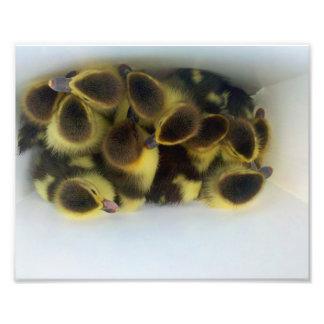 Impresión de la foto de la fauna de los patos de l