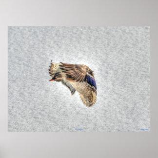 Impresión de la foto de la fauna del pato del pato posters