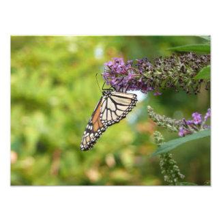 Impresión de la foto de la mariposa de monarca