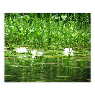 Impresión de la foto de Lillies del agua Fotografías