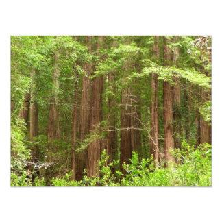 Impresión de la foto de los árboles de la secoya
