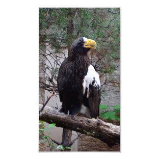 Impresión de la foto de Stellers Eagle Cojinete