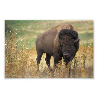 Impresión de la foto del bisonte americano