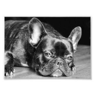 Impresión de la foto del dogo francés fotografías