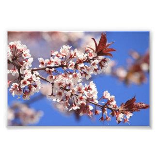 Impresión de la foto del flor del ciruelo