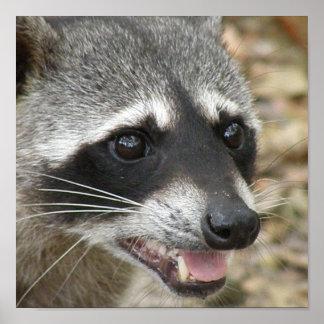 Impresión de la foto del mapache poster