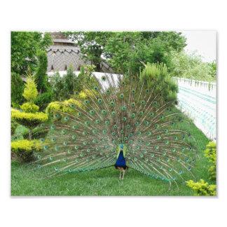 Impresión de la foto del pavo real fotografía