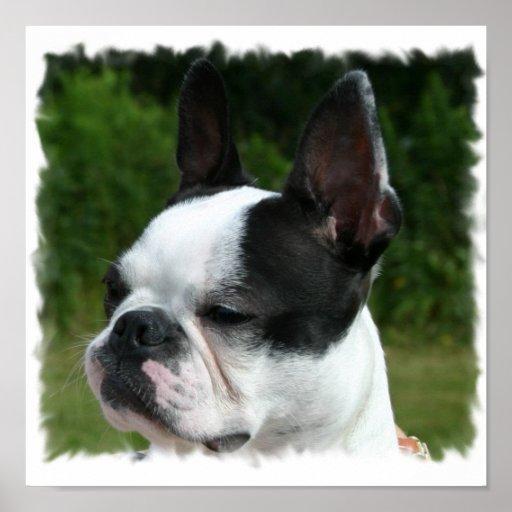 Impresión de la foto del perro de Boston Terrier Póster