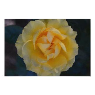 Impresión de la foto del rosa amarillo fotografía