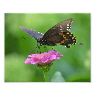 Impresión de la foto del Zinnia de la mariposa Fotografía