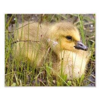 Impresión de la fotografía de Gosling Fotografías