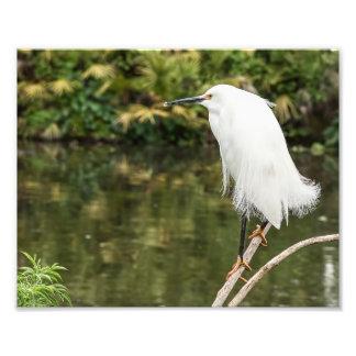 Impresión de la fotografía del Egret nevado Cojinete