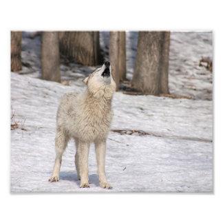 Impresión de la fotografía del grito del lobo de fotografía