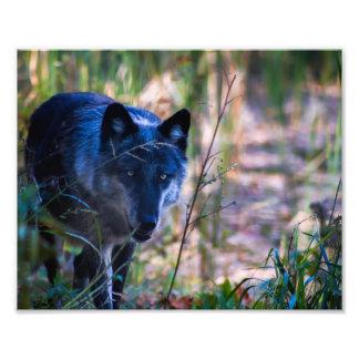 Impresión de la fotografía del lobo gris fotografía