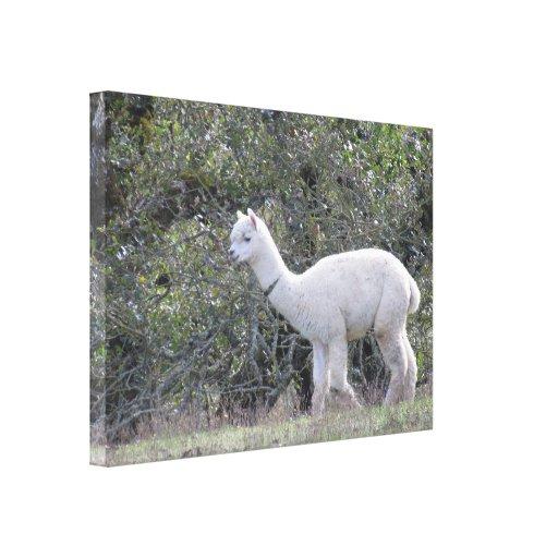 Impresión de la lona - alpaca blanca impresiones en lona estiradas