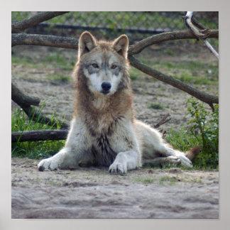 Impresión de la lona del lobo de los lobos impresiones