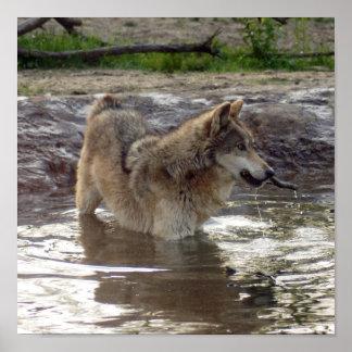 Impresión de la lona del lobo gris de los lobos impresiones