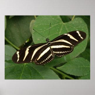 Impresión de la mariposa de Longwing de la cebra Posters