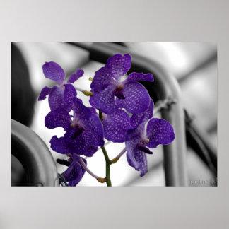 impresión de la orquídea azul póster