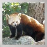 Impresión de la panda roja posters