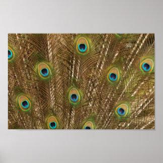 Impresión de la pluma del pavo real poster
