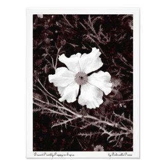 Impresión de la sepia de la amapola espinosa/del s fotografías