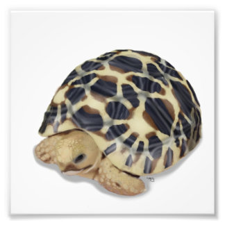 Impresión de la tortuga de la estrella fotografia