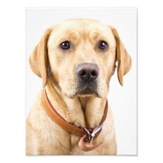 Impresión de Labrador Fotos
