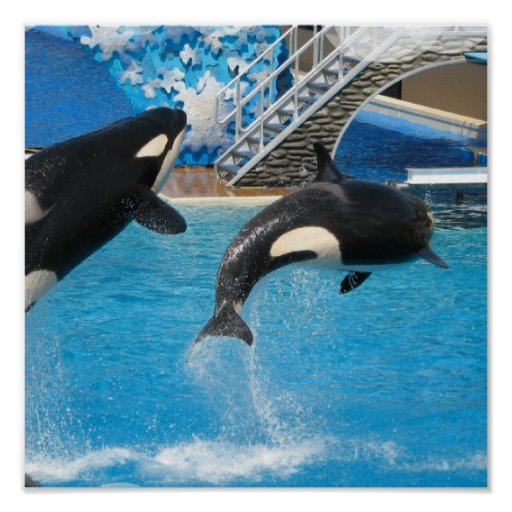 Impresión de las ballenas de la orca póster