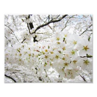 Impresión de las flores de cerezo 12 fotografía