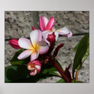 Impresión de las flores del Plumeria Poster