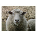 Impresión de las ovejas poster