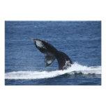 impresión de las platijas de la cola de la ballena impresiones fotográficas