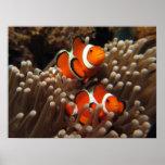 Impresión de los pescados del payaso de Nemo Poster