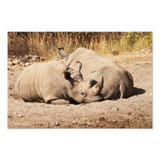 Impresión de los Rhinos el dormir Fotos