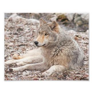 Impresión de reclinación de la fotografía del lobo cojinete