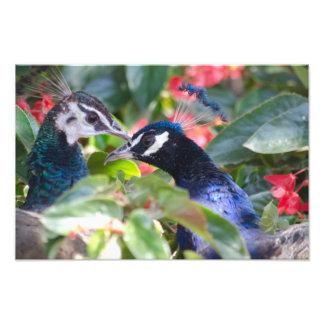 Impresión del afecto del pavo real arte fotográfico