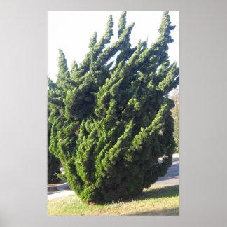 Impresión del árbol del enebro poster