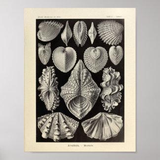 Impresión del arte de Acephala Ernst Haeckel del Póster