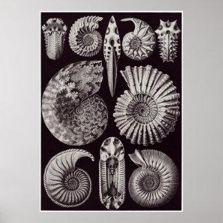 Impresión del arte de Ernst Haeckel: Ammonitida Póster